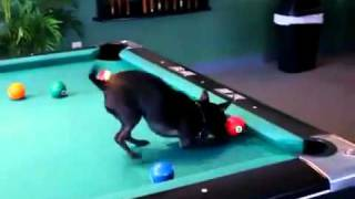 VIDEO: Simpatični psić uživa u bilijaru