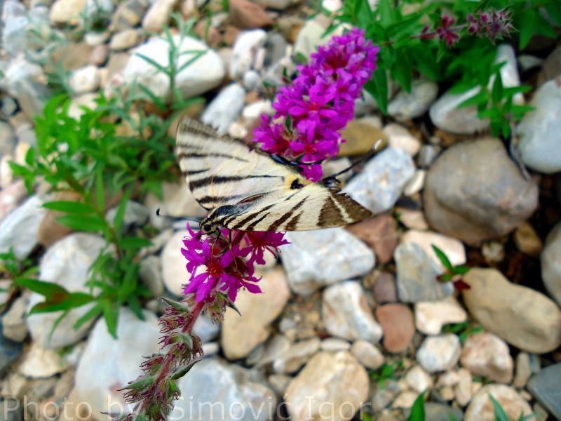 Lastin repak: Prelijepa vrsta leptira