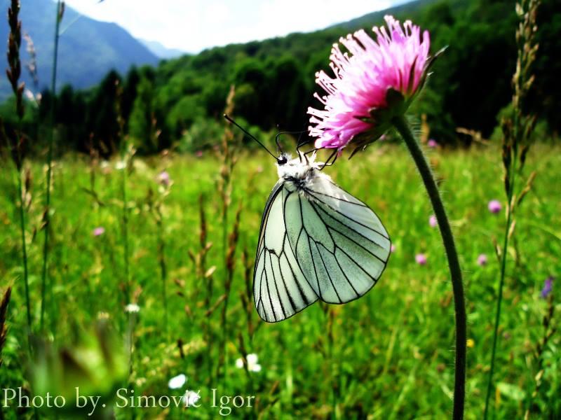 FOTO: Leptiri sa Sutjeske