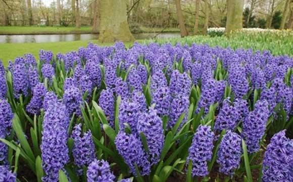 Cvijetni oktobar: Vrijeme za narcise, tulipane, zumbule