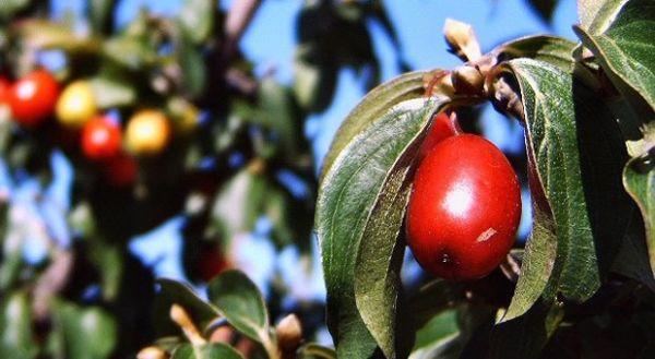 Drenjak, zdrav od sjemena do ploda