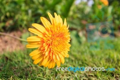Mali žuti proljetni heroj lijek je za mnoge tjelesne tegobe