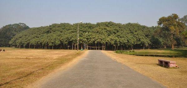 Drvo Koje Izgleda Kao Cijela Šuma-Najšire Drvo Na Svijetu