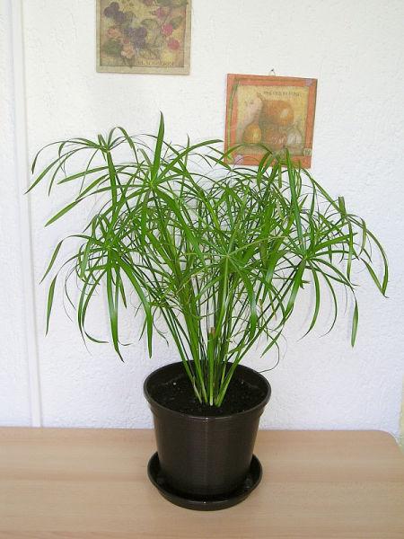 Cyperus-600x800