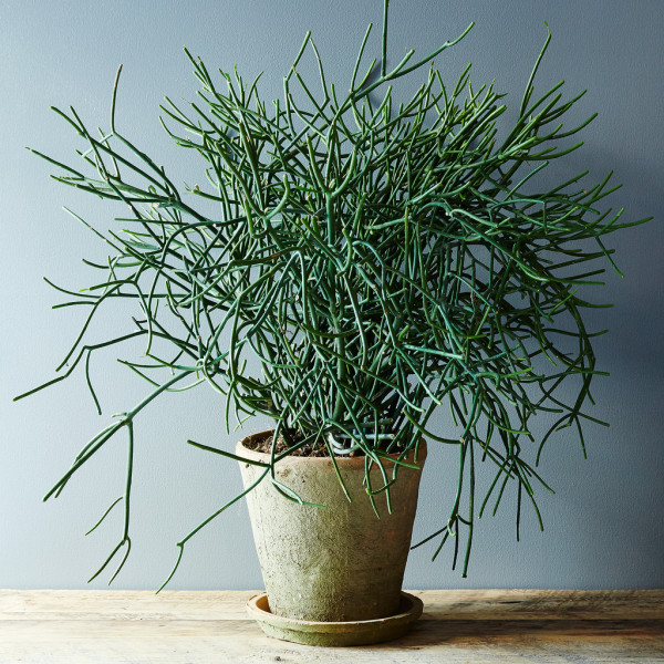 Euphorbia-tirucalli-600x600