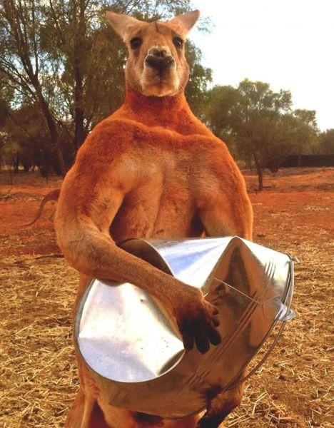 Upoznajte kengura koji iz zabave gnječi metalne kante: Visok je 2,07 i težak 89 kg